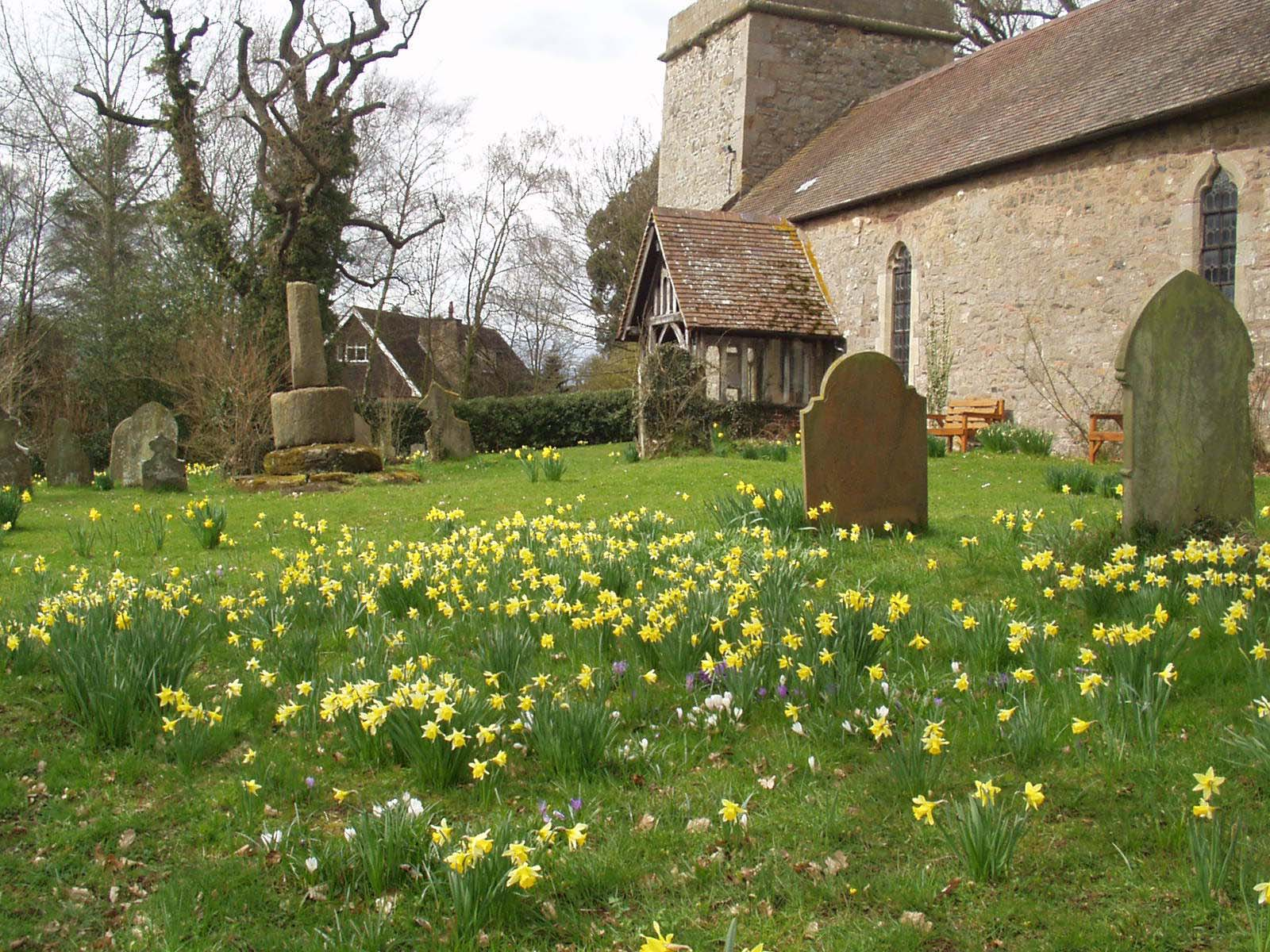 Whitton Church Daffodils